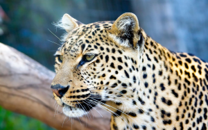 2560x1600_leopards_stare